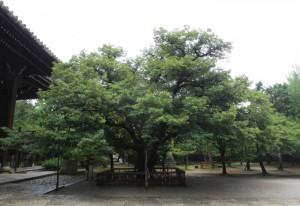 真如寺の菩提樹