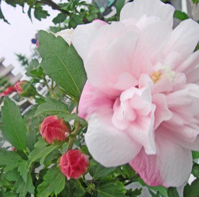 木槿花(ムクゲ)