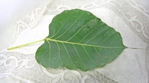 ボダイジュの葉