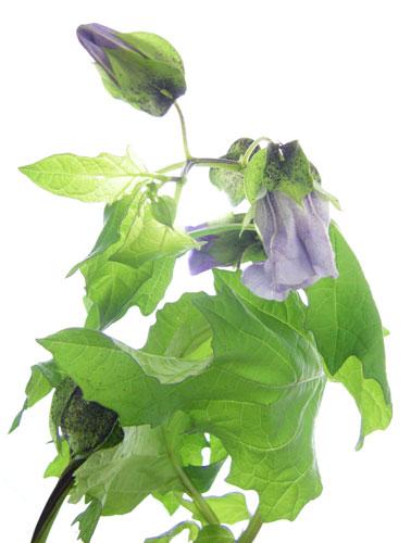 クロホオズキの花