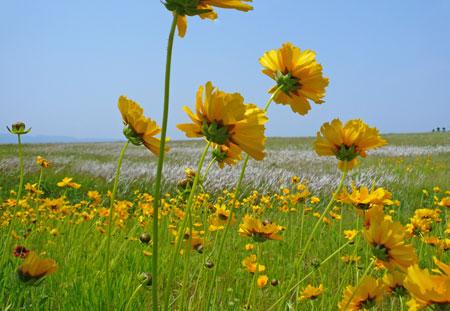 キンケイソウの花畑