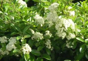 トキワサンザシの花