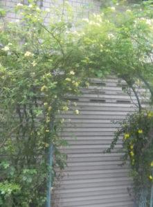 木香バラのアーチ